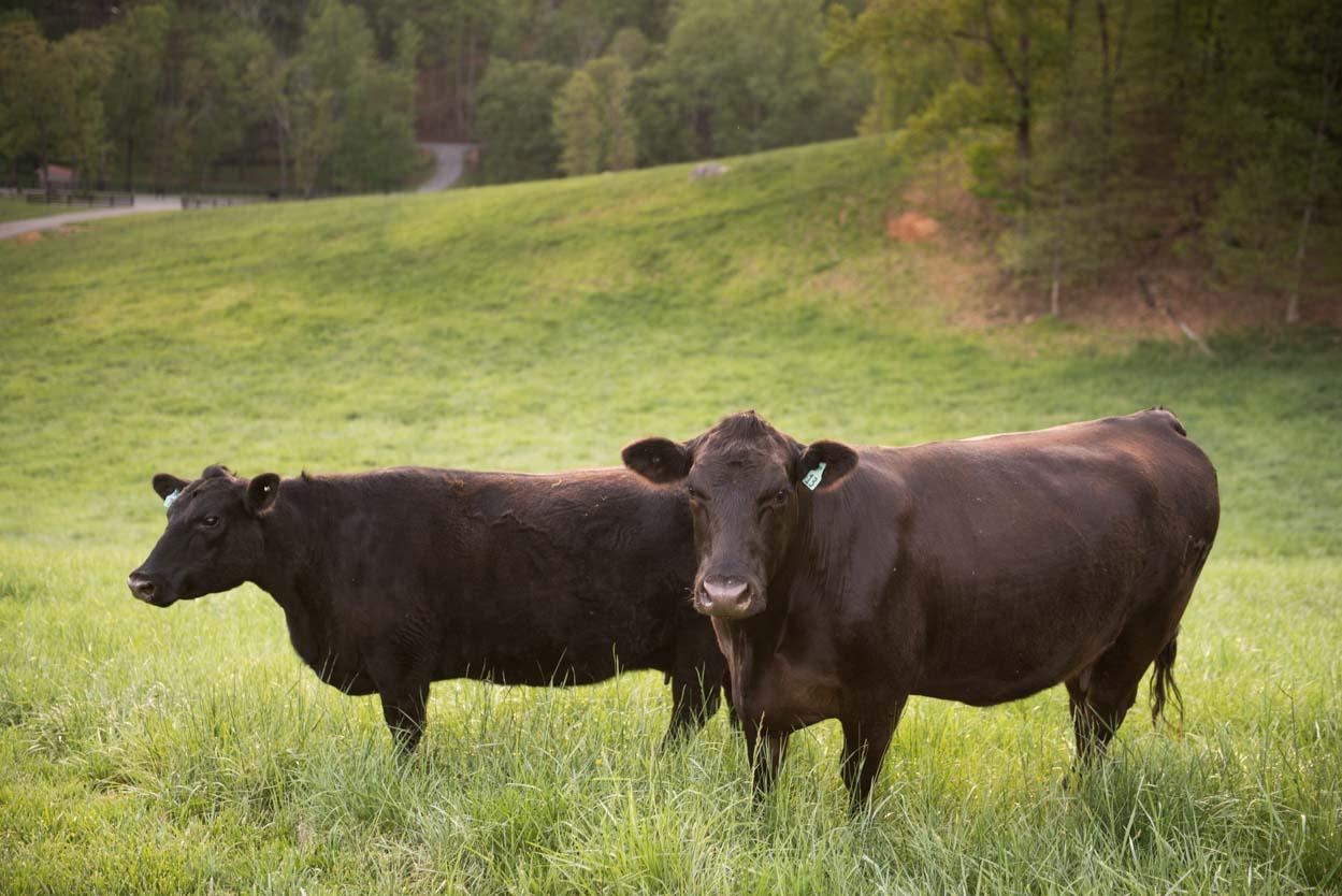 Ragged Branch cattle
