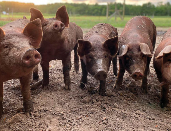 Return of Heritage Pork Farming at Cartwright Family Farms