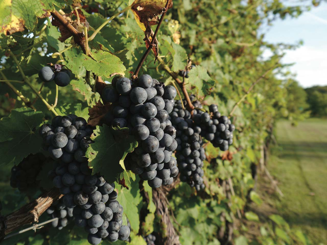 Virginia Cab Franc grapes at Fabbioli Cellars