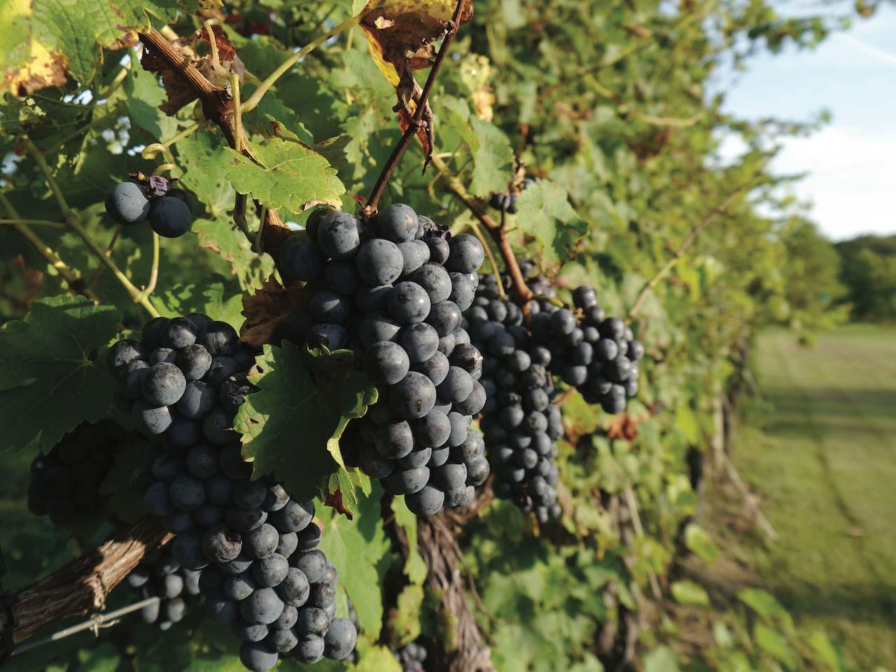Virginia Cab Franc grapes at Fabbioli Cellars