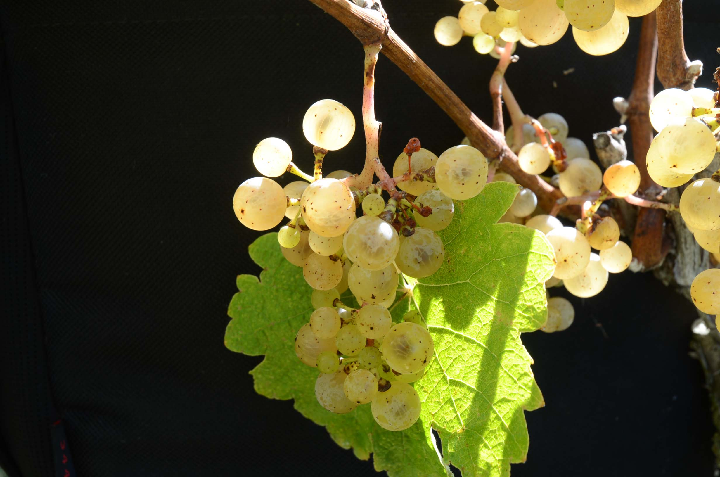 JBR Wine Grapes, Virginia farm winery