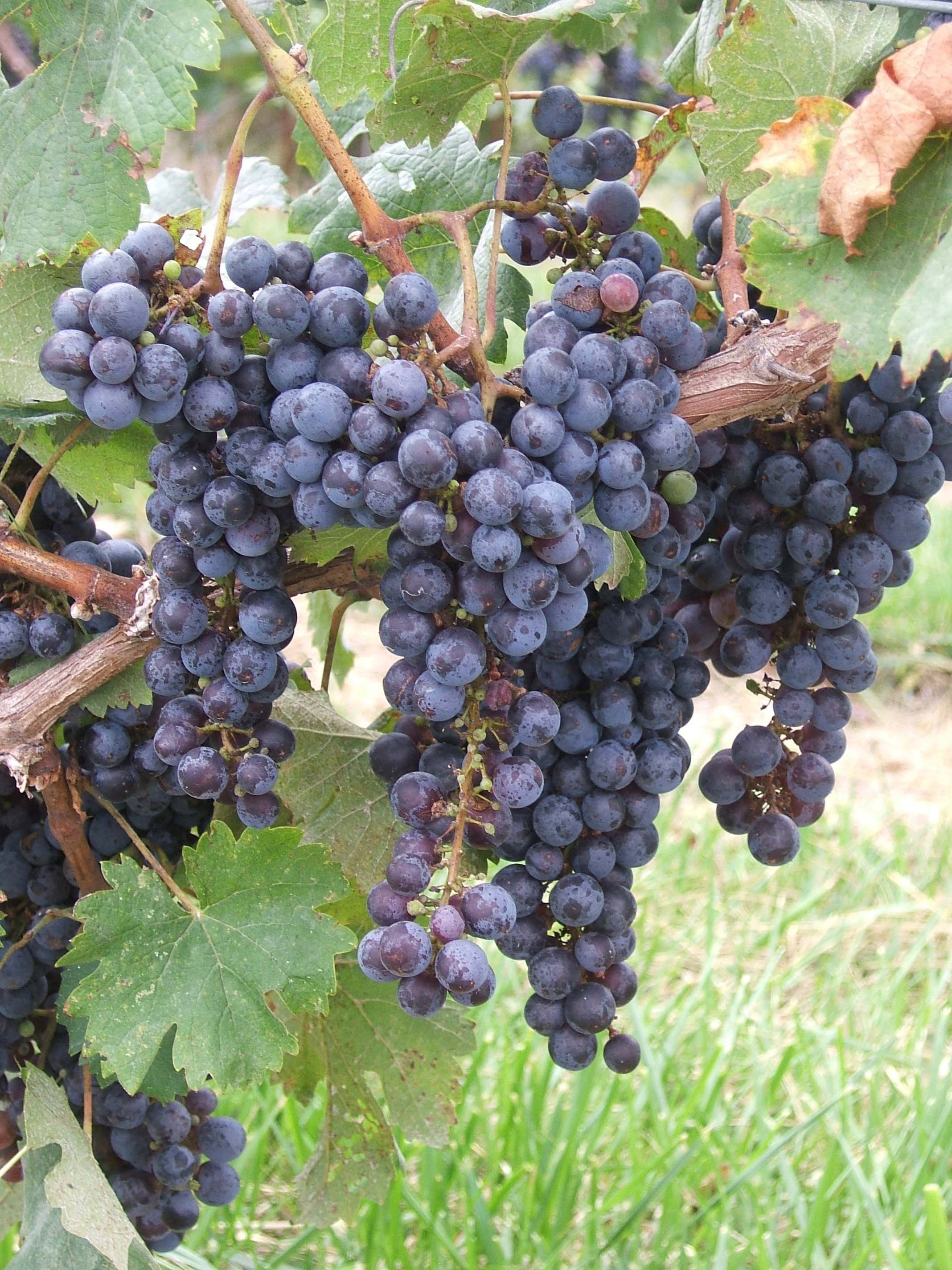 JBR Wine Grapes