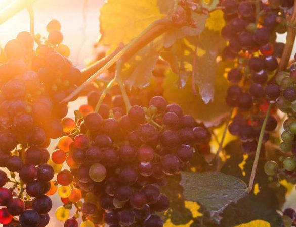 Crushin' It: Fall Grape Harvest in Virginia