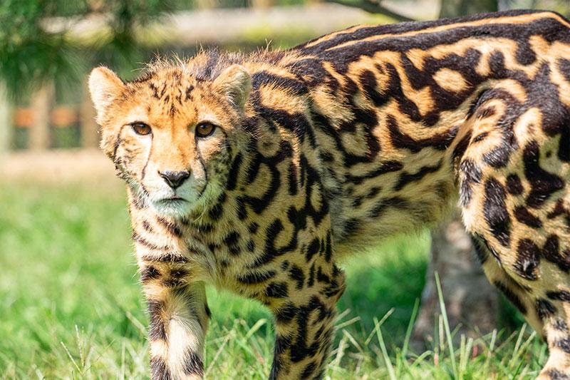 virginia safari park cheetah
