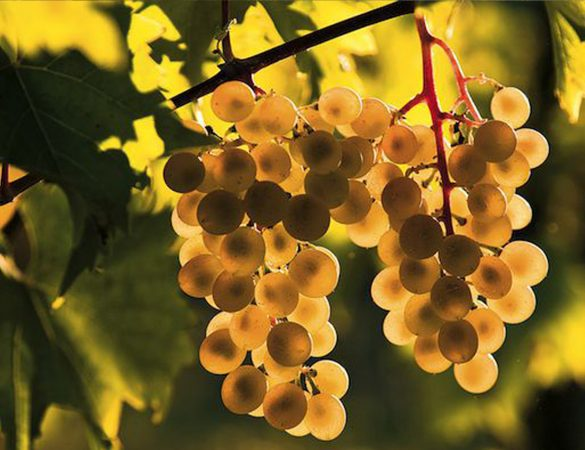 V Is For Voluptuous: Virginia Viognier